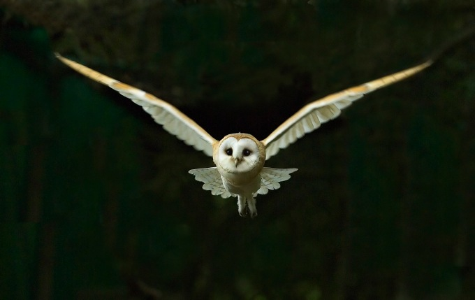 Barn Owl Tyto alba flying at night North Norfolk November