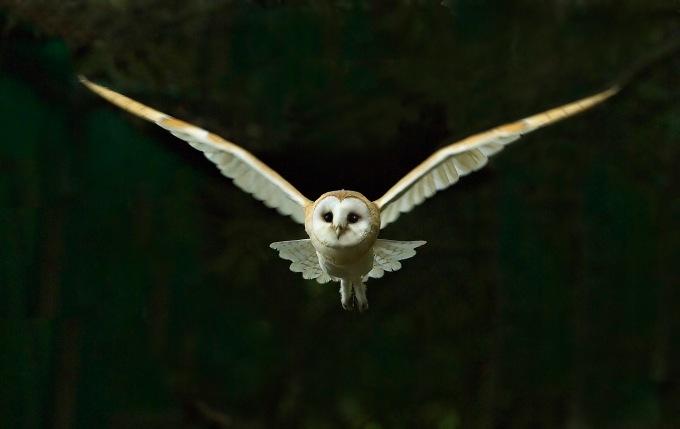 Barn Owl Tyto alba flying at night North Norfolk November