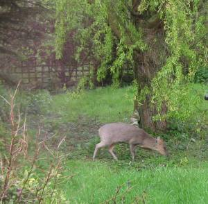 Deer under the willow tree