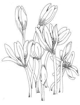 Sketched Crocus