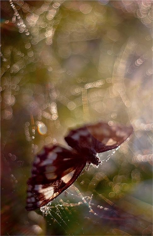 Butterfly in web