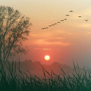 Geese against sunset