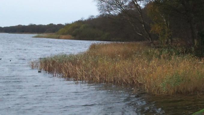Norfolk Reeds