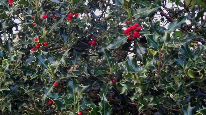 Holly Hedge