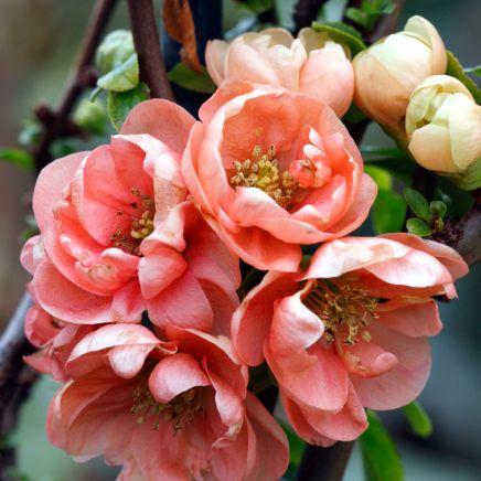 Blossom Shadorma