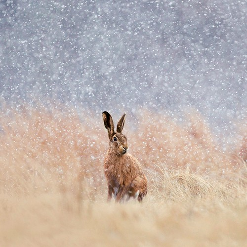 The Christmas Hare
