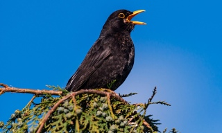 Male blackbird singing on a branch