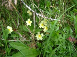 hedgerows_primrose