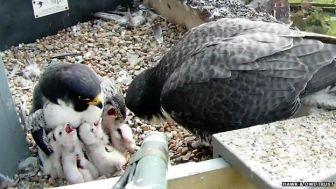 Nesting Peregrines