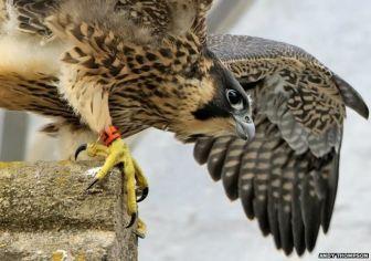 Norwich Peregrine Falcons