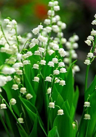Flower lily of the valley(1).jpg