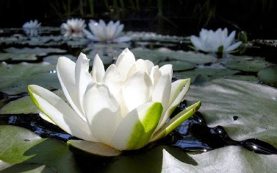 Rising Lotus Flower
