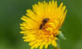 wasp-crawling-dandelion-yellow-close-up-40720715