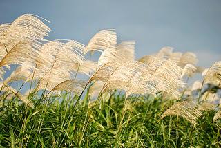 pampasgrass-ocean