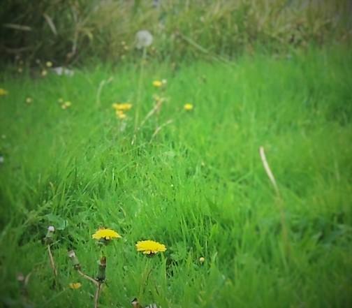Dandelion Sunshine