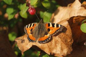 autumn-butterfly