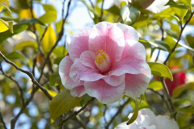 camellia2016
