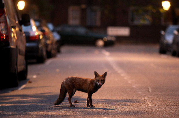 An Urban Fox Forages At Dawn In London