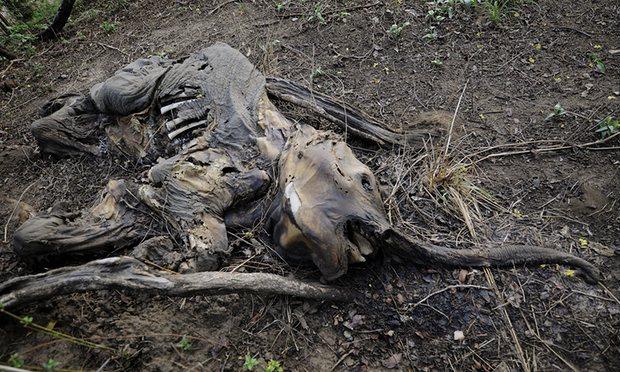 murdered-elephant