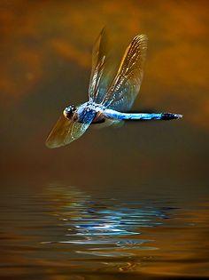 flash-of-a-dragonflys-blush