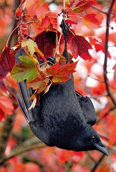 single-black-feather