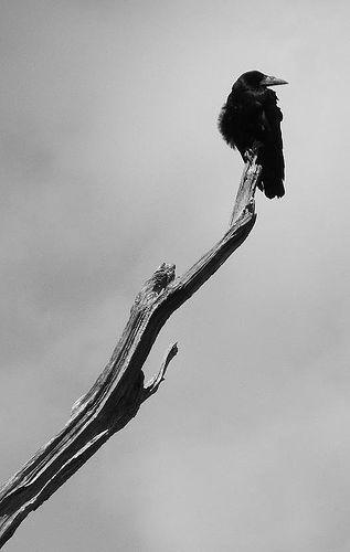 strident-crow