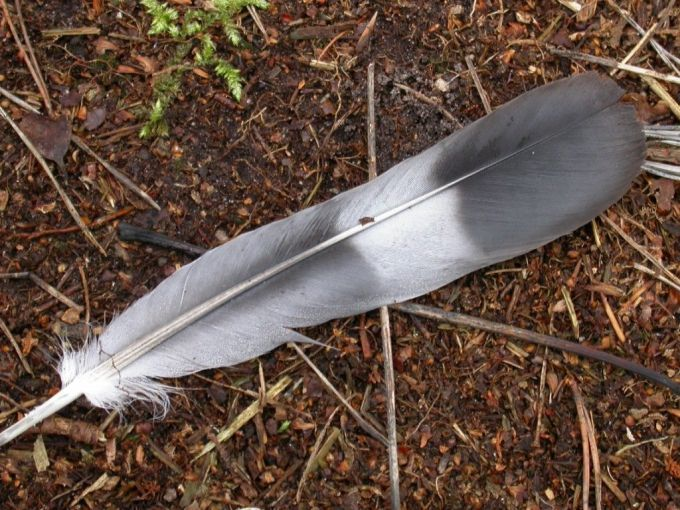 pigeon-feather