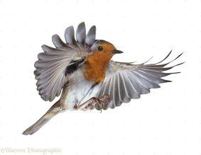 European Robin (Erithacus rubecula) in flight.