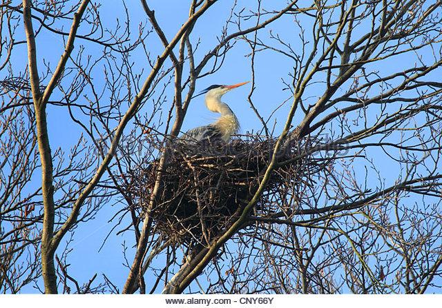 grey-heron-ardea-cinerea-sitting-in-the-nest-in-a-tree-cny66y