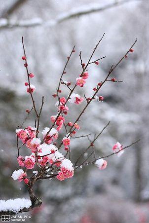 Ice on cherry blossom