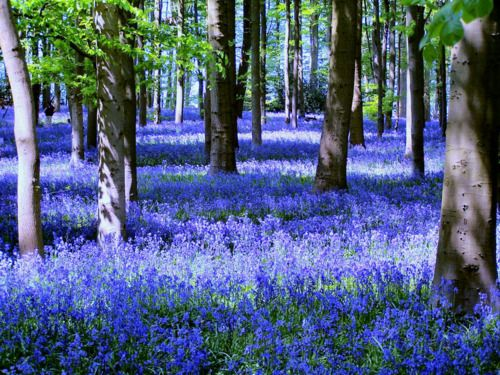 Echoes of Bluebell Wood