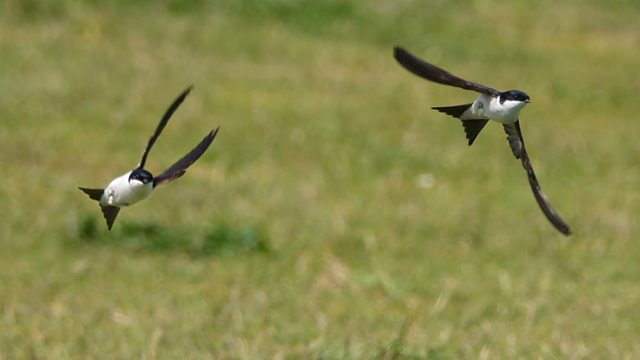 House Martins