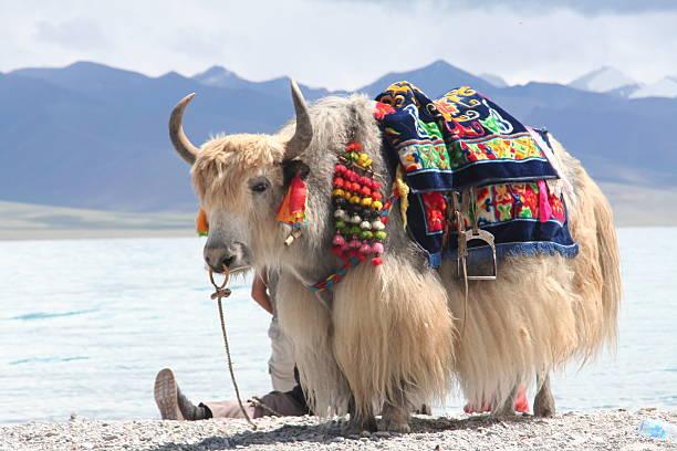 Stubborn as a yak