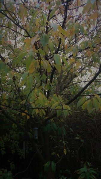 November Cherry