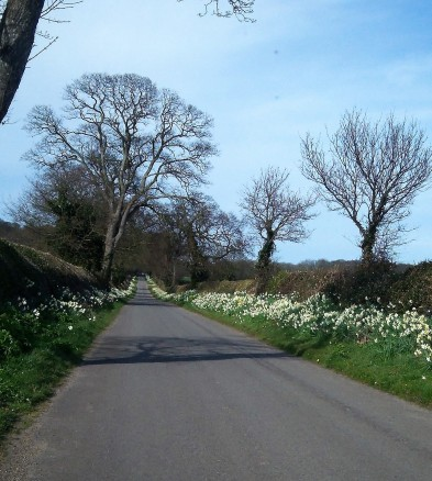 Avenue of Daffodils