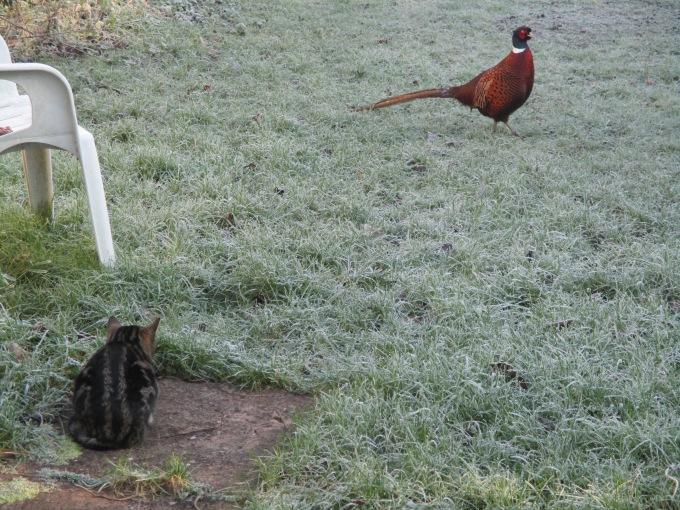 Fearless Pheasant.JPG