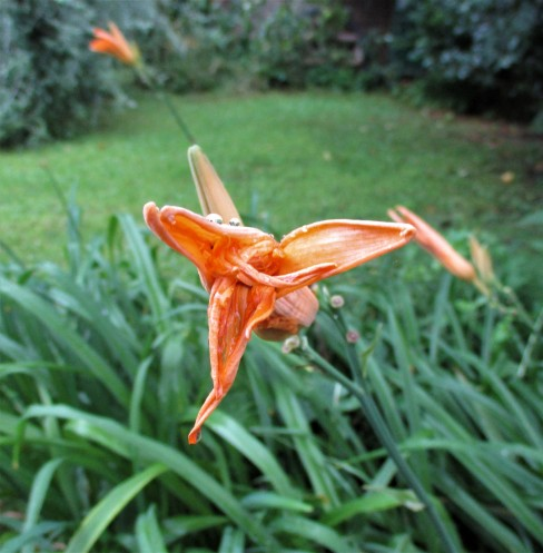 Canna Lilies in the Rain